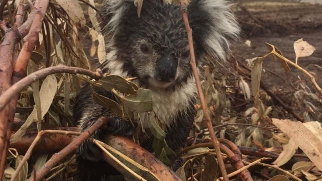 Why aren't we protecting our koalas?