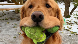 This retriever could really shake up a game of fetch