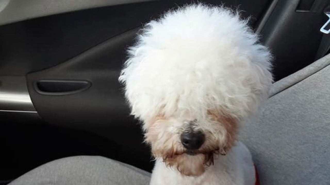 This dog discovered his inner alpaca