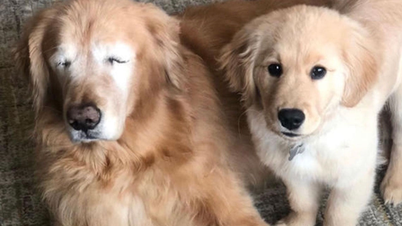 This blind retriever got his own guide dog