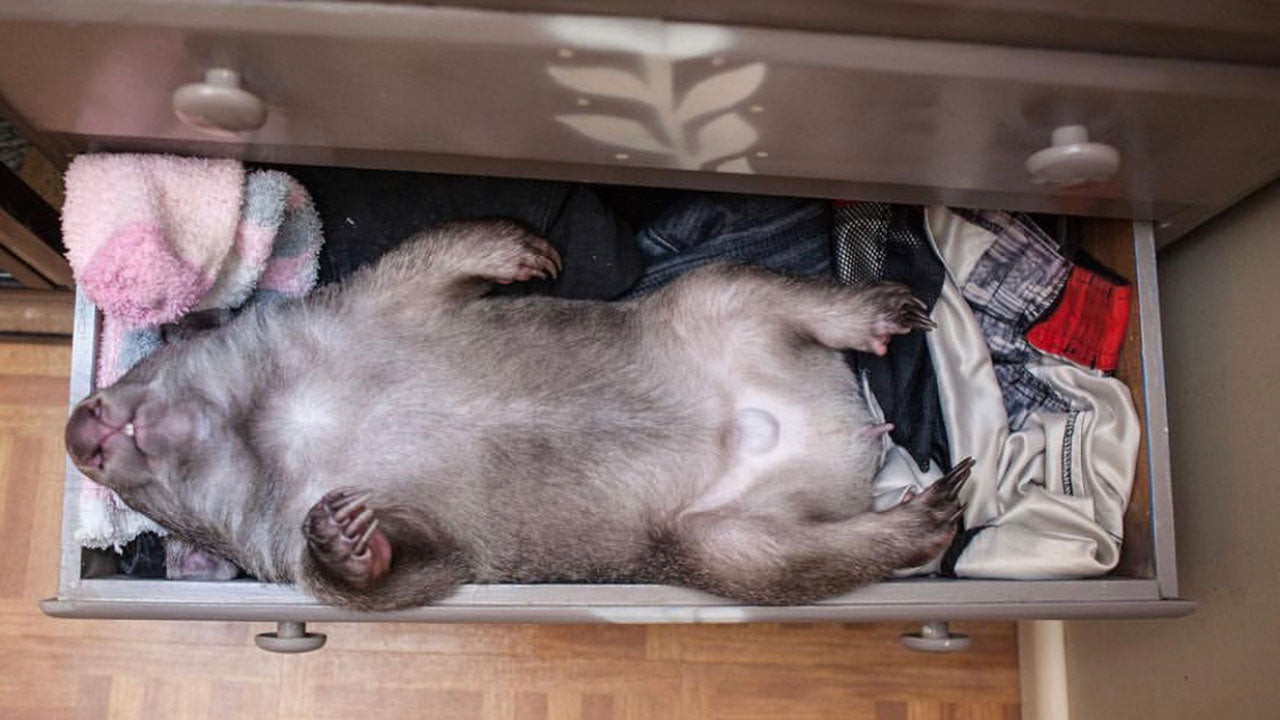 Kenny the baby wombat's sleeping spot is everything