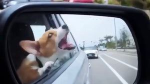 Why dogs drool over the car window