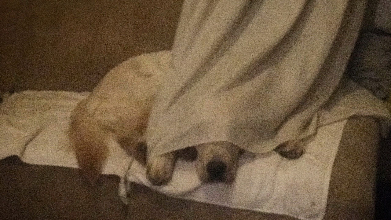 This retriever pup really nailed this game of hide and seek