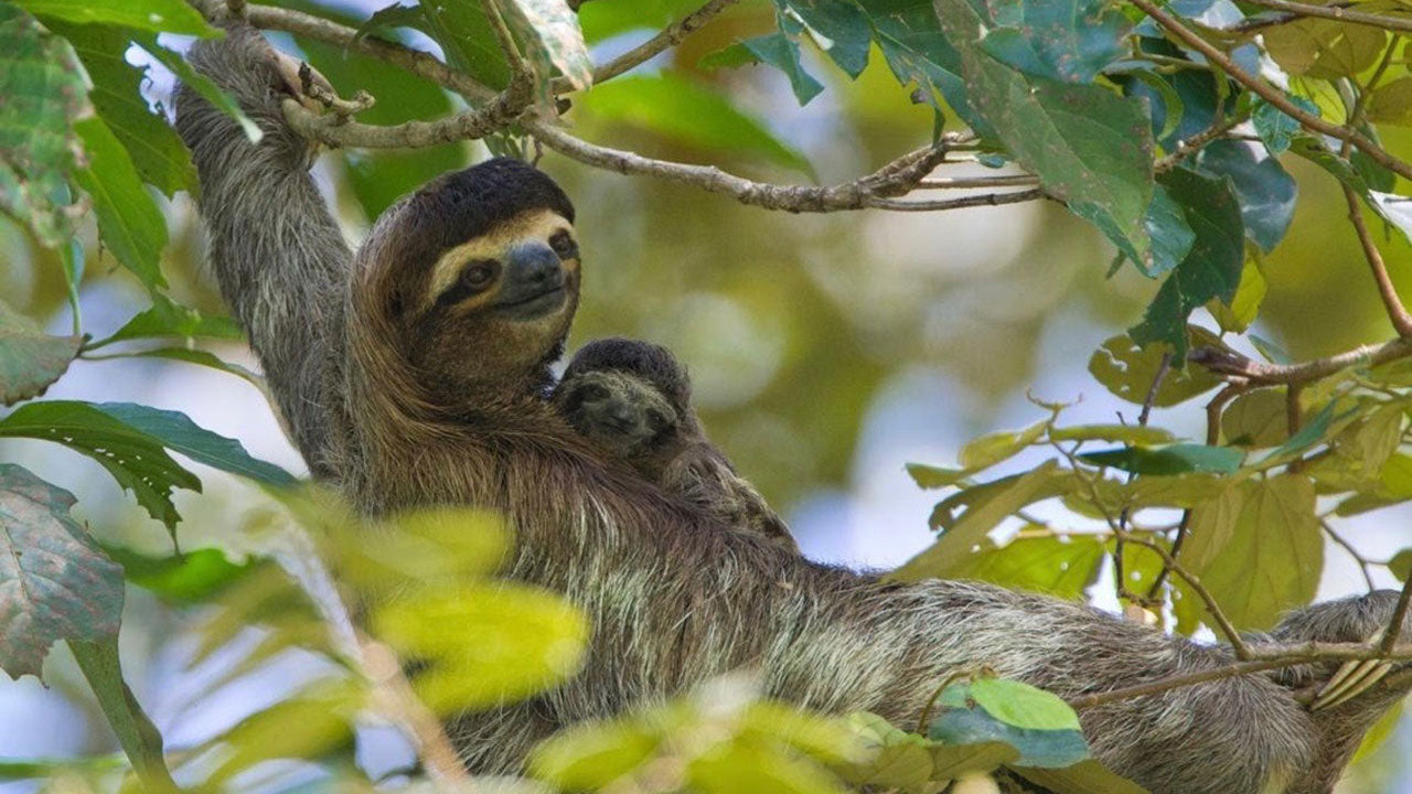 A sloth giving birth is breathtaking! 🦥😳