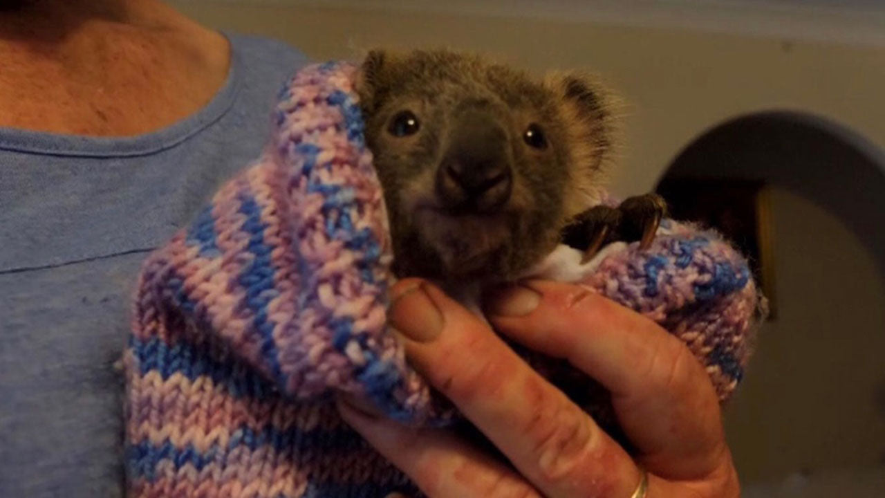 Haze the baby koala was saved by her mother's pouch