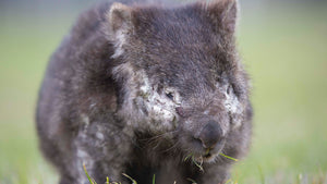 Why the wombat needs our help right now