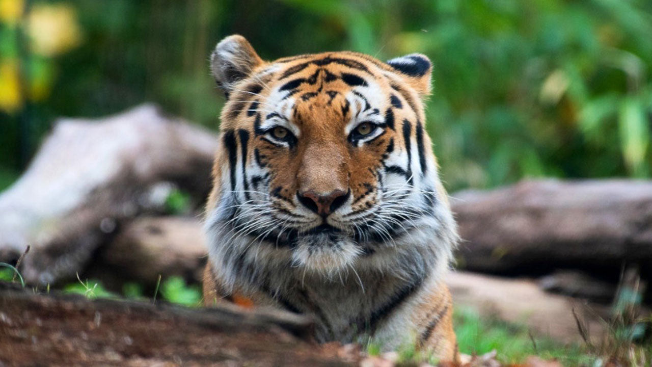 How a tiger tested positive for Covid-19