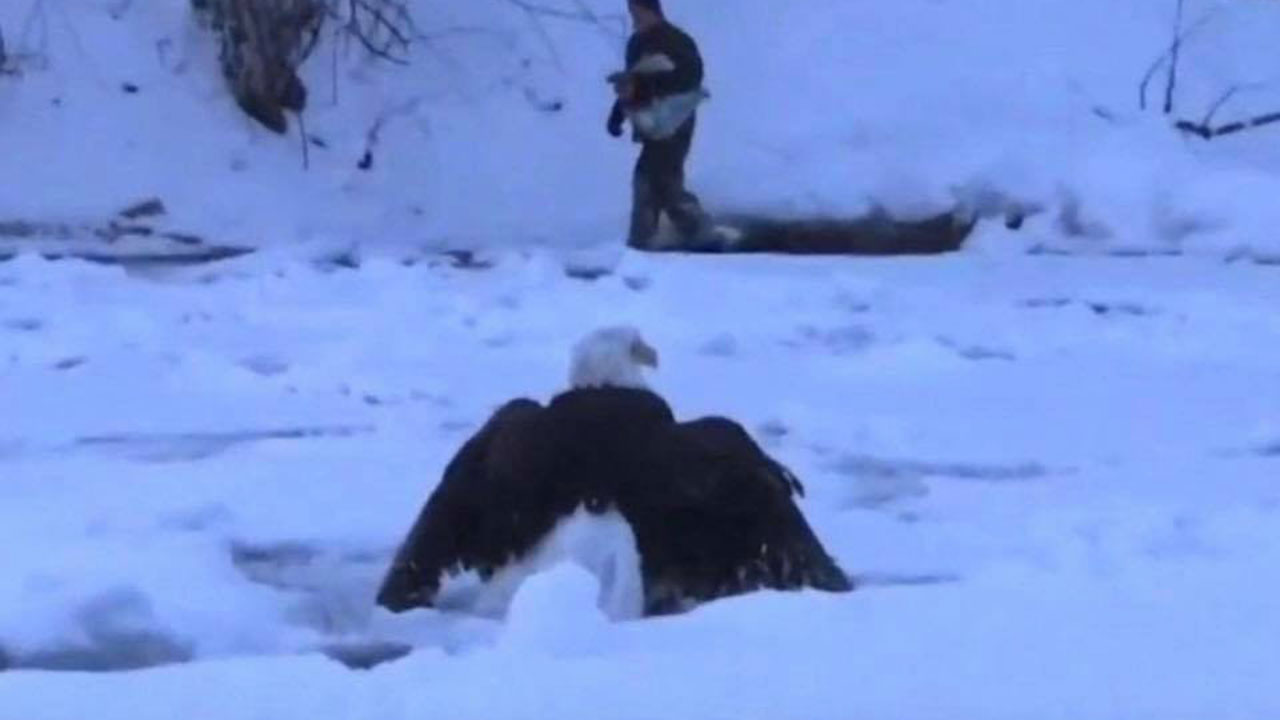 Polar vortex has this Bald Eagle frozen...literally!