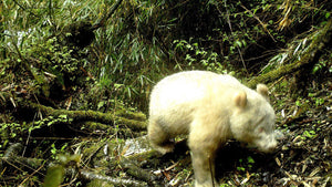 Breaking! The world's first albino panda has been discovered.