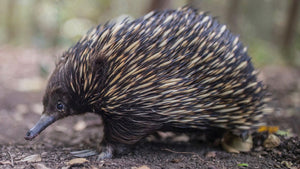 This echidna is allergic to the strangest thing