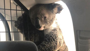 This burnt koala protected her joey in a police car