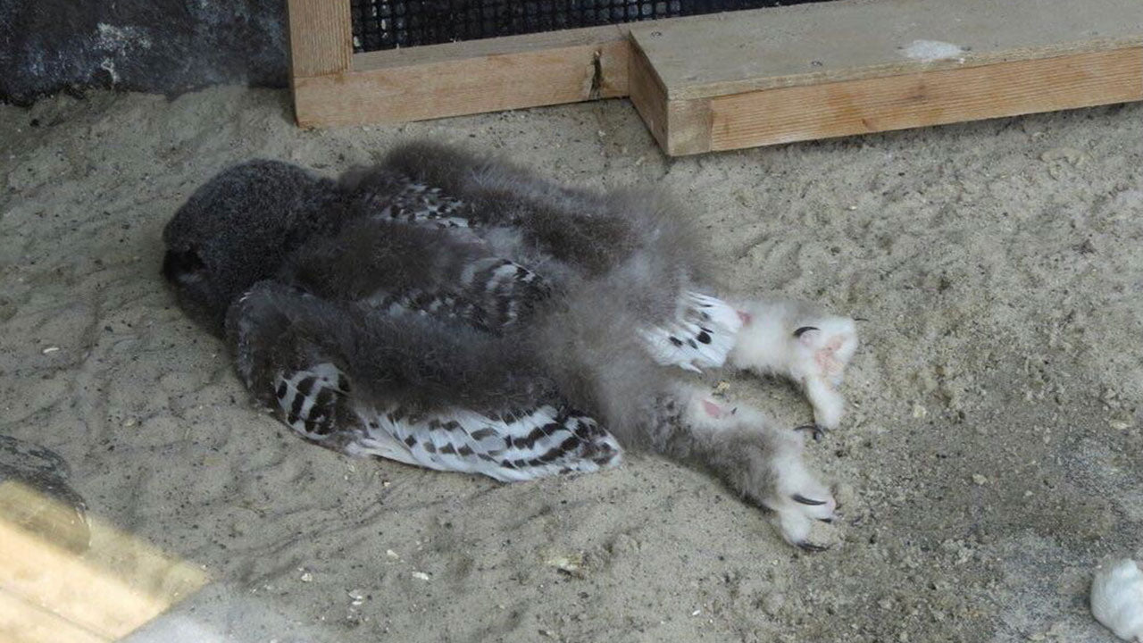 Why baby owls actually sleep like this
