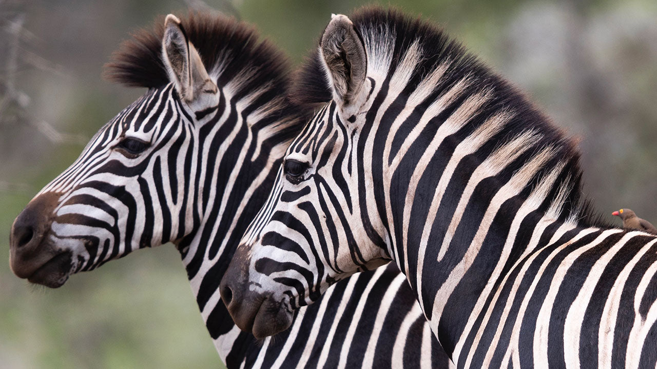 The reason Zebras have stripes