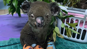 Look at Peter the koala now