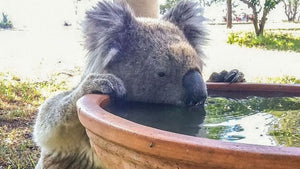 Want to help save the koala from extinction? Buy them a drink.