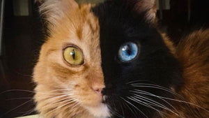 Thanks to a genetic quirk, this cat has two faces