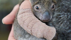 This tiny koala's cast is bigger than she is