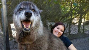 This giant wolf-dog will warm your heart