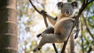 The world's sexiest koala is here