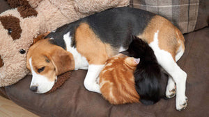 This beagle gave two tiny kittens an unexpected gift