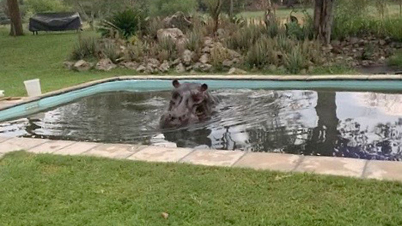 This hippo chose the wrong waterhole for a swim
