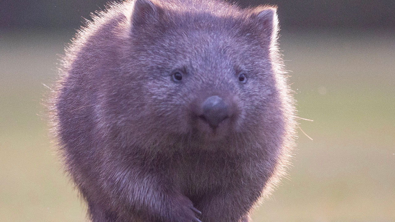 Why wombats are the world's only animal with cube poos!