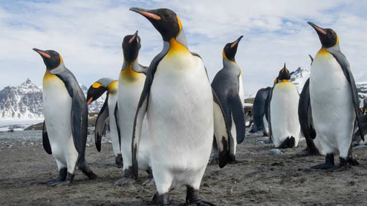 The planet's only yellow penguin has been found!