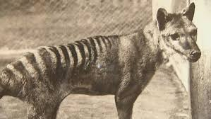 Is this the Tassie Tiger lookalike?