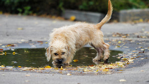 A lethal disease dogs catch from puddles has re-emerged