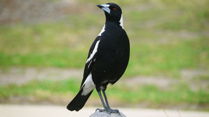 A swooping magpie was shot by a Sydney council
