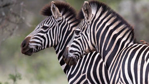 Have you ever wondered why Zebras have stripes?