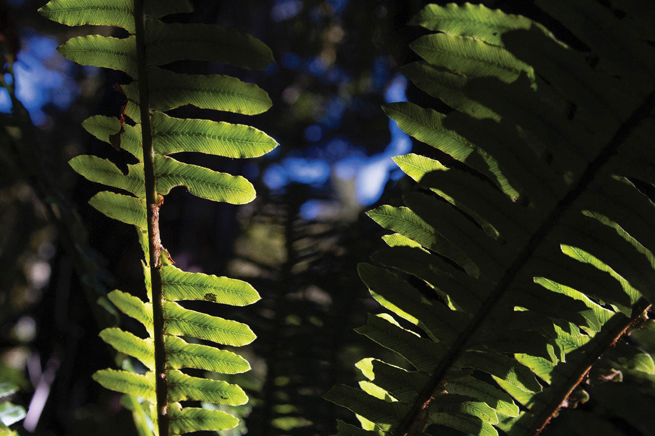 Forest Fronds