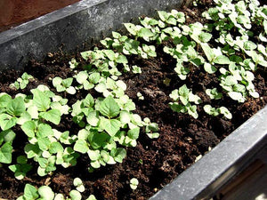 Gaea's Blessing Seeds - Green Shiso Seeds (Perilla) 400+ Seeds, Non-GMO, Kaori Ao Shiso, Open-Pollinated, High Germination Rate