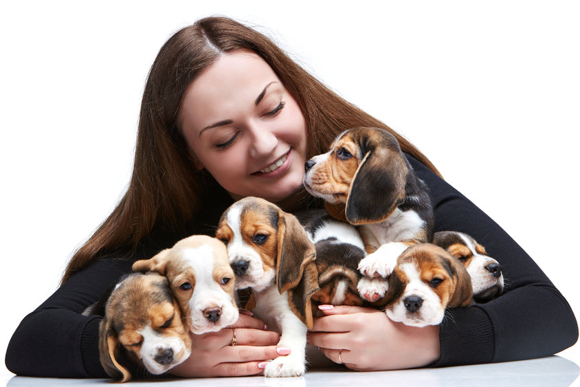 woman with group of beagle puppies