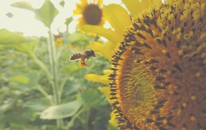 sunflower pollinating bees