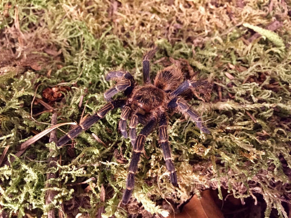 Homoeomma sp. blue Peru 2