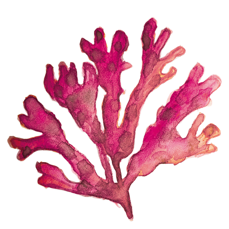 The super ingredient: Fucus Seaweed