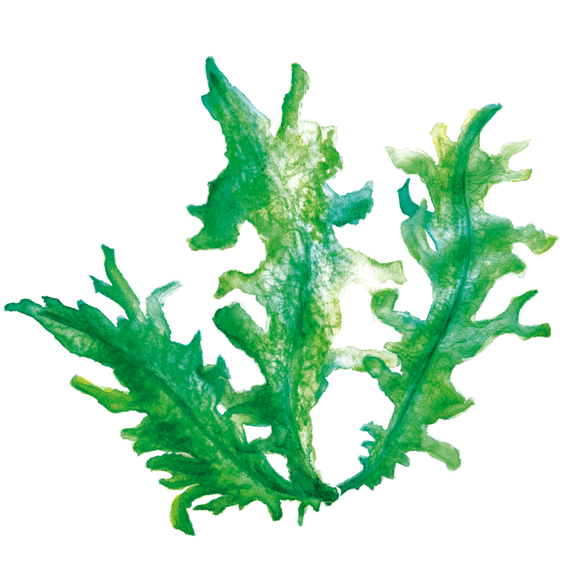 The super ingredient: Wakame Seaweed