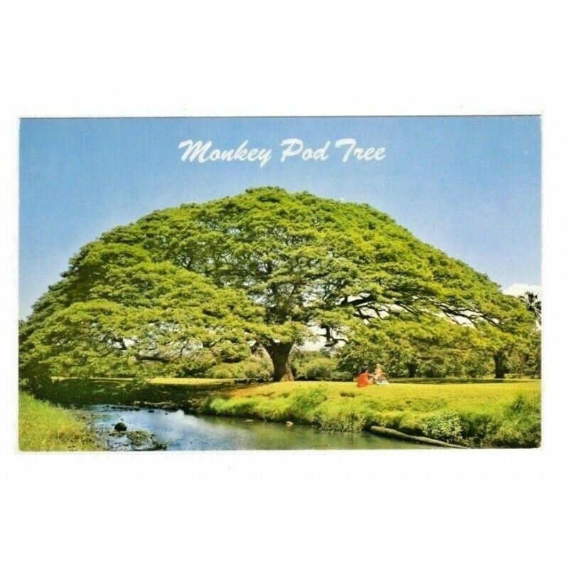 Monkey Pod Tree Hawaii Postcard S-198 - fazoom
