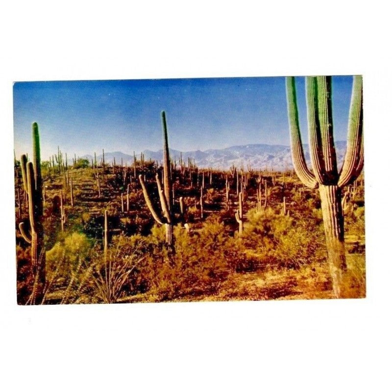 Saguaro National Monument Tucson Arizona Postcard C711 Kodachrome - Fazoom