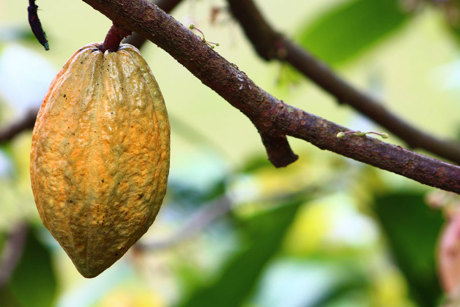 Best cacao in the world: Mexico one of the most important producers
