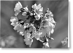 Weeping Cherry Blossom - Black and White - Greeting Card