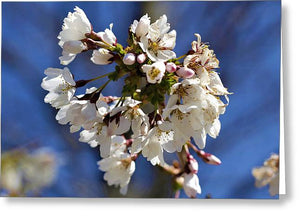 Weeping Cherry Blossom - Greeting Card