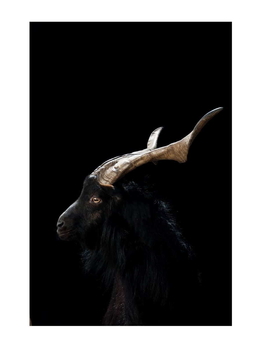 12x16 Arawapa goat print - Hanging Creations wall art giclée print art for sale