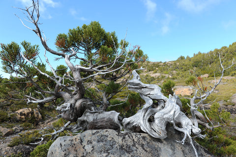 Tasmanian Pencil Pine in Mt Field National Park used for reference