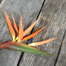 "34"" Bird of Paradise Spray - 5 Colors"
