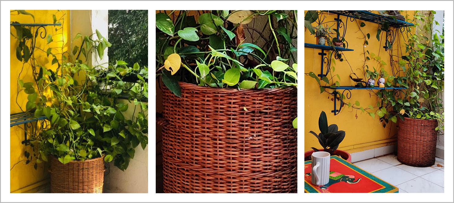 DaisyLife wicker planter with big money plant or pothos in the balcony