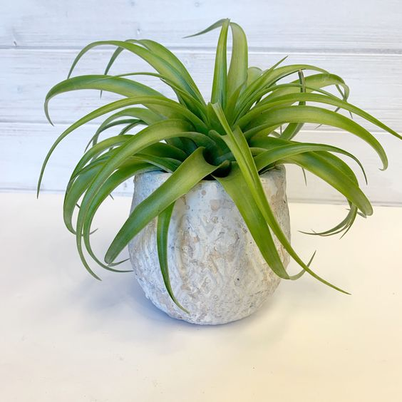 Airplant in Rustic White Pot