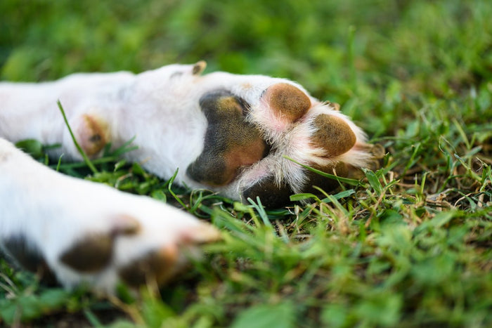 How to Heal Your Dog's Dry and Cracked Winter Paws