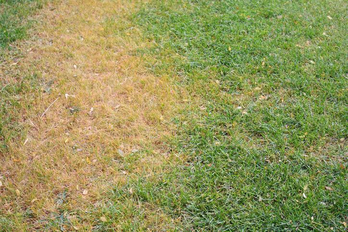 Why Your Dog's Urine is Ruining Your Grass